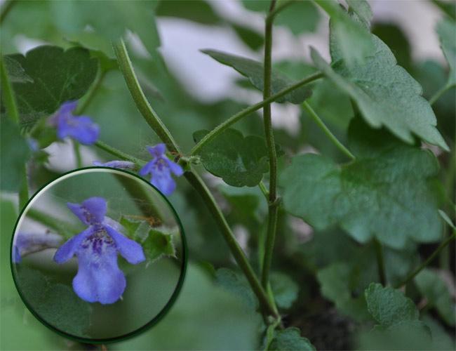 Kräuter-Steckbrief Gundermann (Glechoma hederacea ...