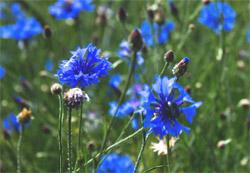 Kornblume (Centaurea cyanus) - Verwendung, Wirkung und Anbau