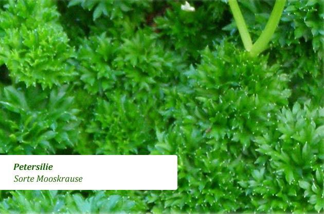 petersilie petroselinum crispum steckbrief. Black Bedroom Furniture Sets. Home Design Ideas
