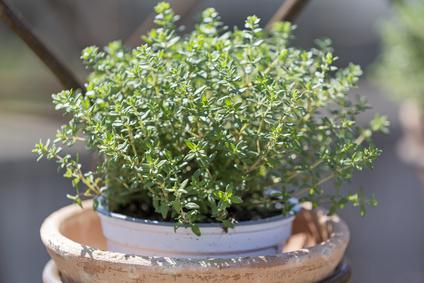 thymian thymus vulgaris steckbrief eigenschaften und verwendung. Black Bedroom Furniture Sets. Home Design Ideas