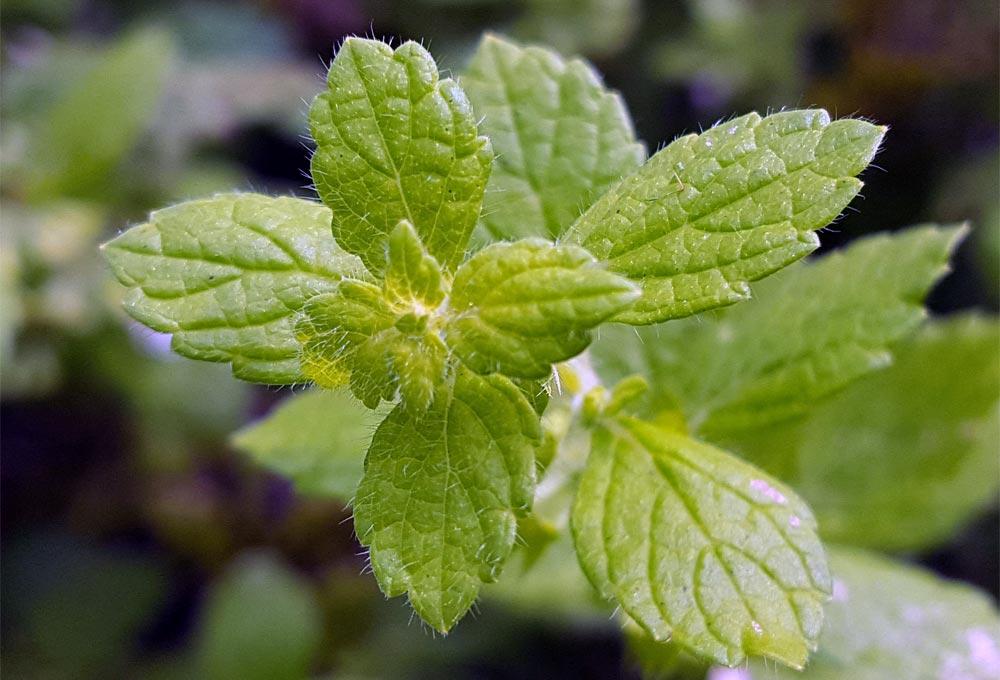 Geliebte Zitronenmelisse - Verwendung, Wirkung und Anbau &XN_42